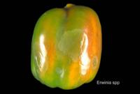 bell_peppers_bacterial_soft_rot