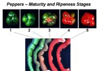 bell_peppers_maturity