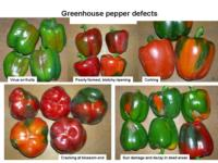 Greenhouse_bell_pepper_defects960x720