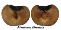 plums_alternaria_rot