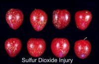 plums_sulfur_dioxide_injury