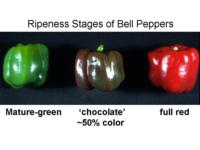 Ripeness_stages_of_bell_peppers960x720