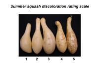 summer_squash_discoloration_scale
