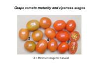 tomato_grapes_maturity_stages