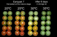 tomato_high_temperature_effects