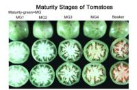 tomato_maturity_stages