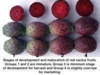 Cactus_pear_maturity__ripeness_stages