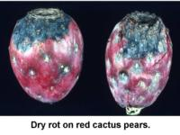 Dry_rot_on_cactus_pear