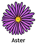 Aster_French250x350