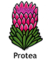 Protea_French250x350