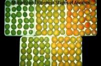 apricot_maturity_ripeness