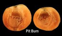 apricot_pitburn771x450