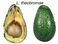avocado_lasiodioplodia