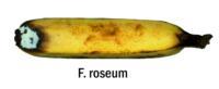banana_fusarium