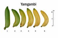 banana_speciality_yagambi_chart