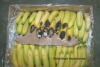 banana_verticillium_rot