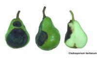 bartlett_cladosporium_rot2