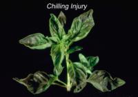 basil_chilling_effects