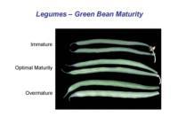 beans_snap_maturity