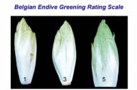 belgian_endive_greening