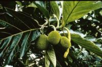 breadfruit-immature
