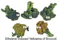 broccoli_ethylene_induced_yellowing