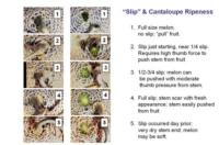 cantaloupe-slip-ripeness