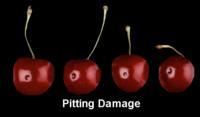 cherry_pitting _damage2_669x390