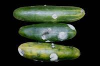 cucumber_fusarium_decay