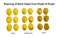 date_ripening_barhi1440x948