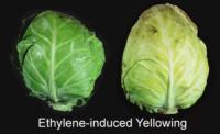 EthyleneInducedYellowing