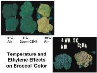 Ethylene_effects_on_broccoli960x720
