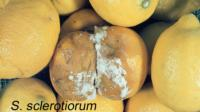 lemon_Sclerotinia_Rot