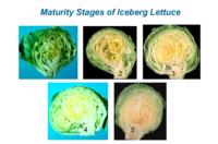 lettuce_crisphead_maturity2