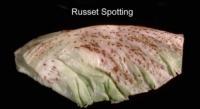 lettuce_crisphead_russet_spotting2