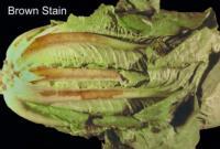 lettuce_romaine_brown_stain