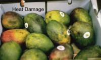 mango_Heat_Damage