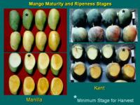 mango_maturity