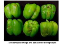 Mechanical_damage_bell_pepper