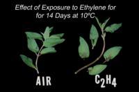 mint_ethylene_effect