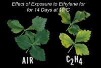mitsuba_ethylene_effect