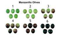 olives_Ripeness_Stages
