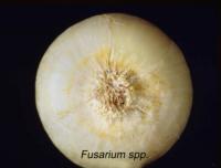 onion_dry_fusarium_basal_rot