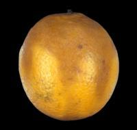 orange_lasiodiplodia