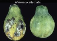 papaya_Alternaria_Rot