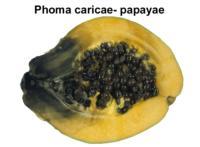 papaya_black_stem_end_rot1