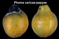 papaya_black_stem_end_rot2