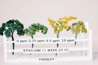 parsley_ethylene_effects