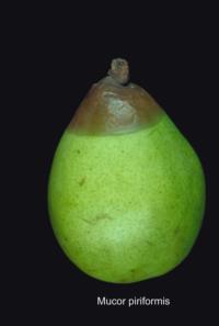 pear_mucor_rot2
