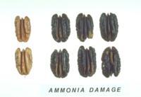 Pecan_Ammonia_Damage